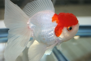 What Human Food Can You Feed A Goldfish